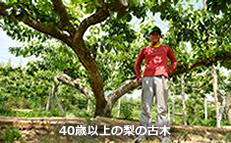 40歳以上の梨の古木