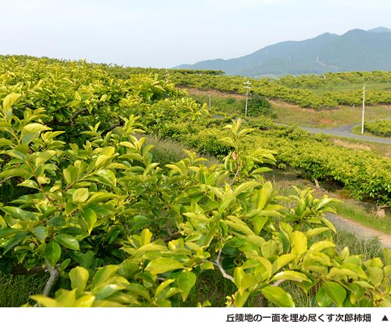 丘陵地の一面を埋め尽くす次郎柿畑 ▲